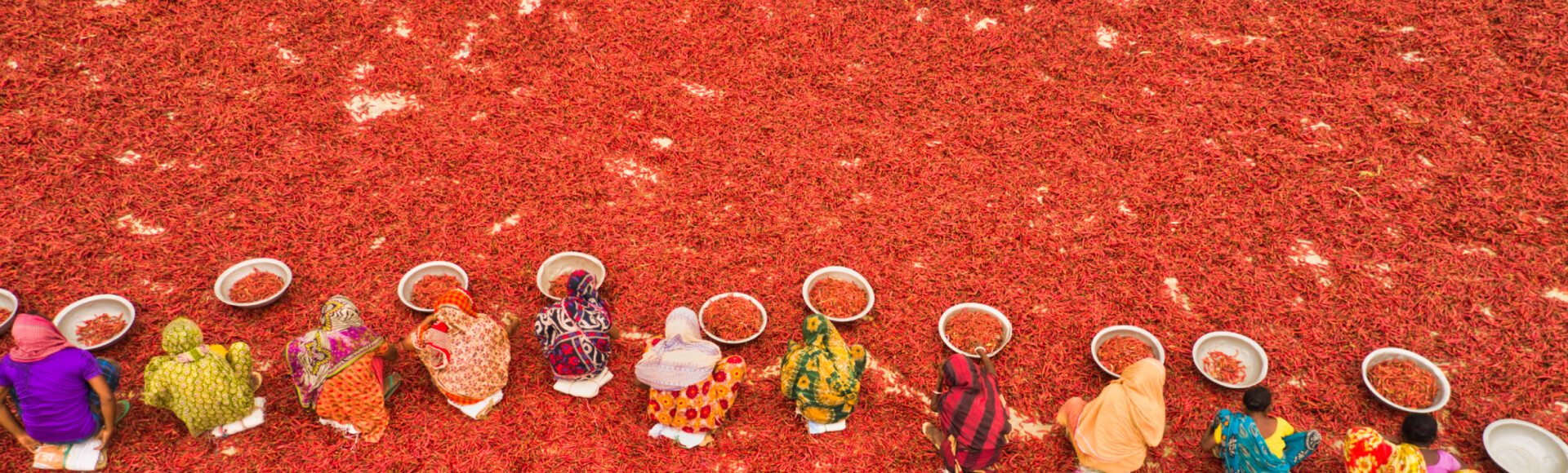 red-chilies-harvesting-field