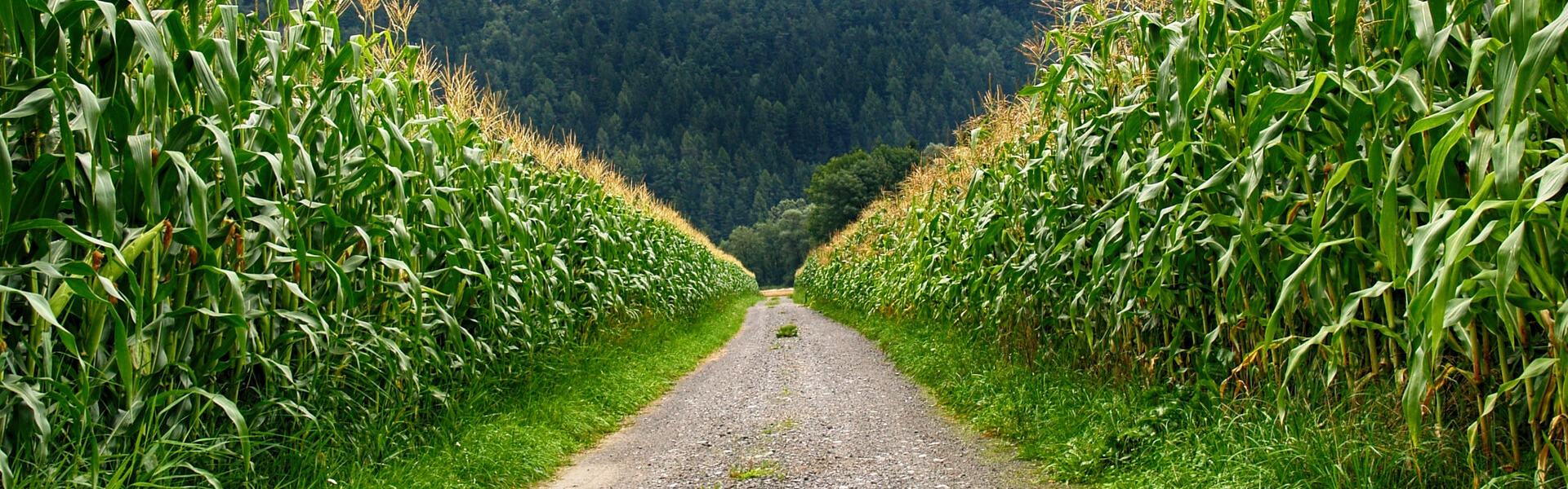acres-of-corn