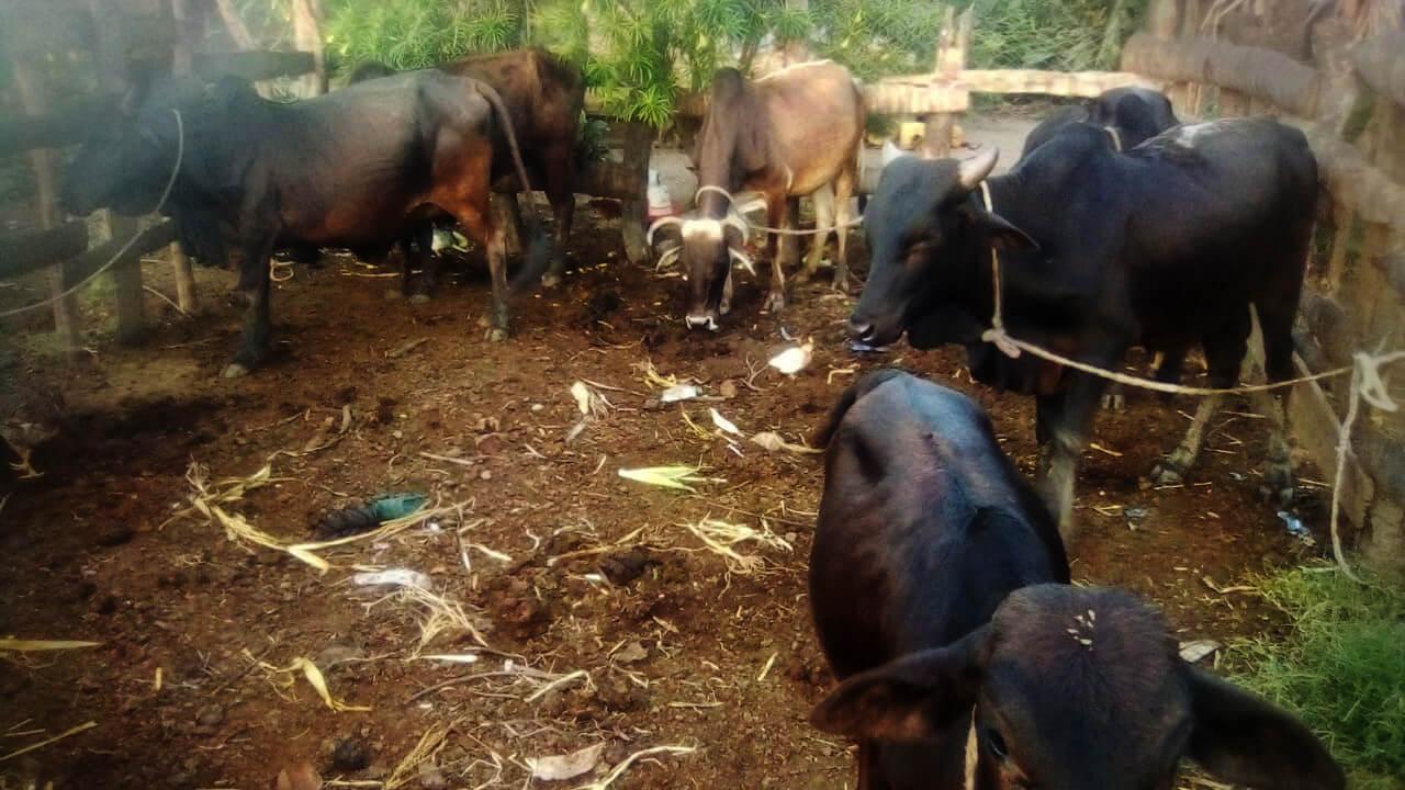 Farm Cows Kenya