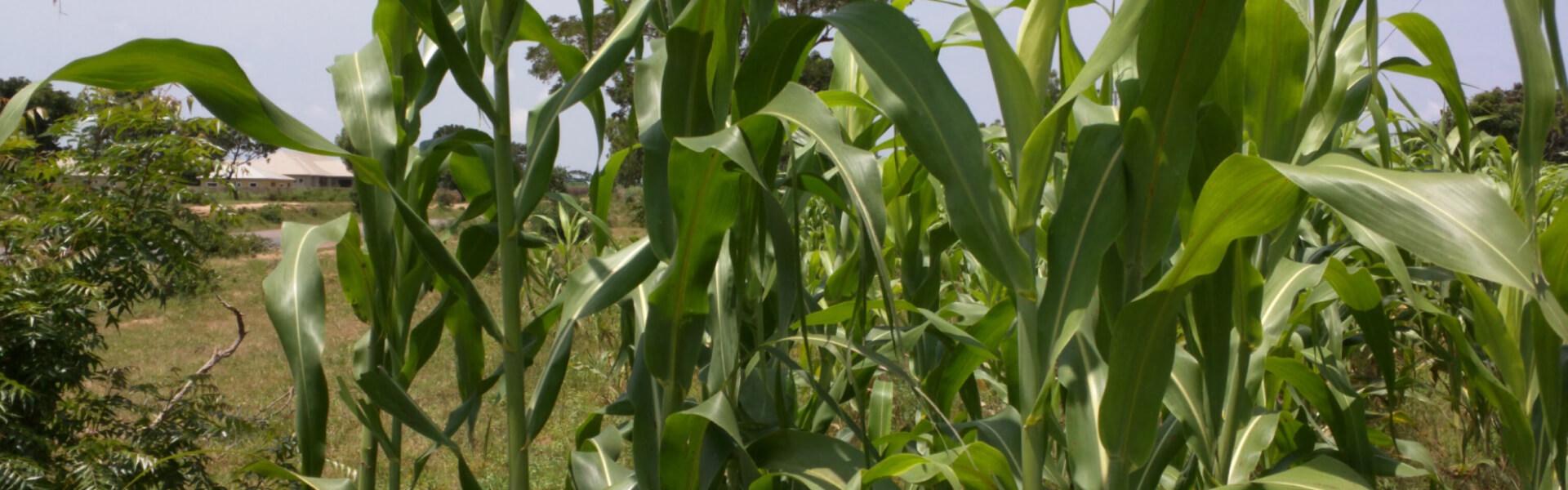 africa-corn