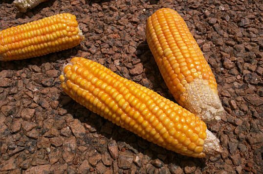 african-corn-
