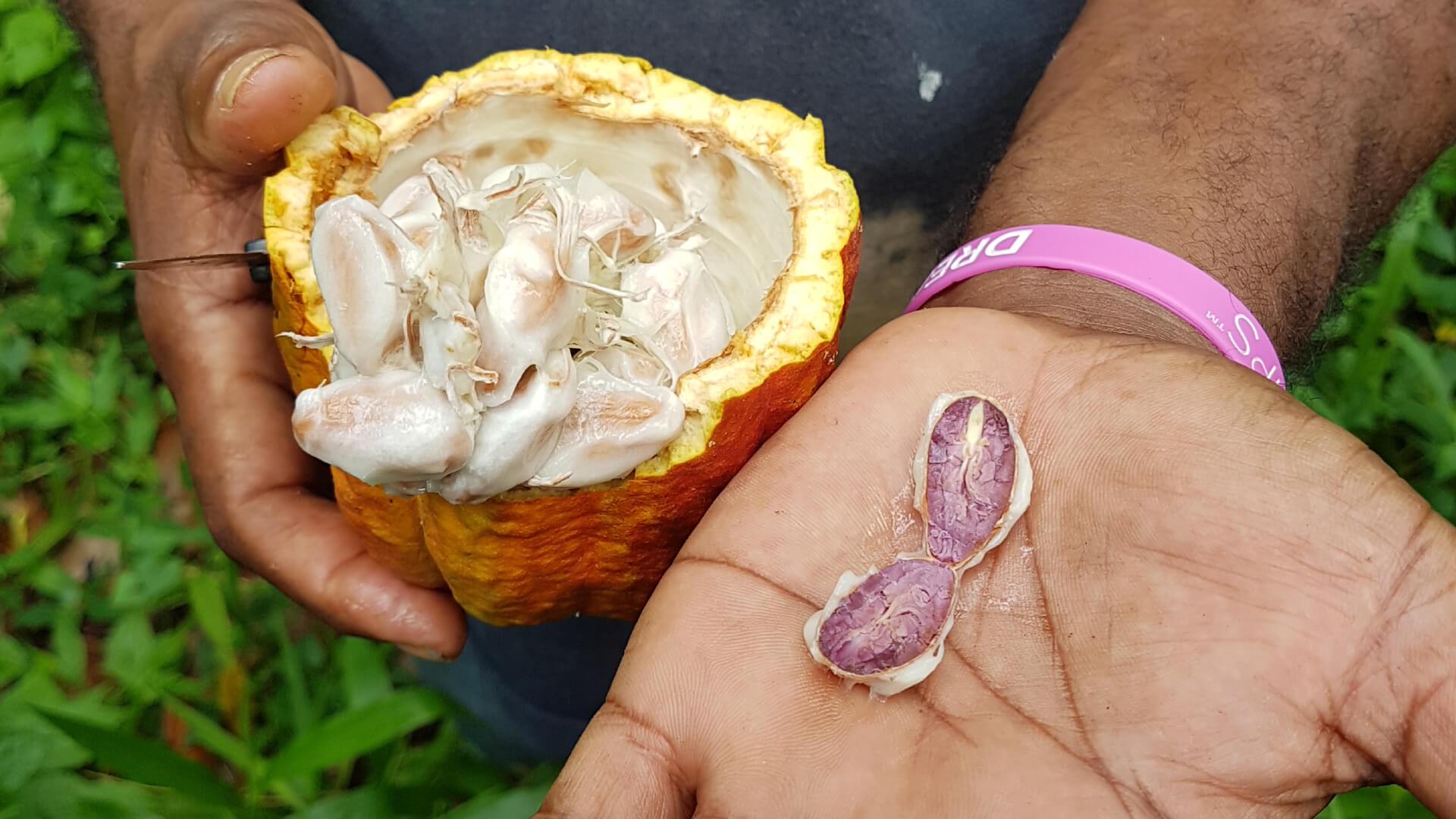 quality cocoa